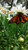 Monarchiczny motyl odpoczywa na daisys obraz stock