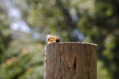 Monarchiczny motyl odpoczywa na drewnianej poczta Fotografia Royalty Free