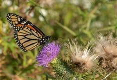 Monarchiczny motyl Pije od Oszczepowego osetu Obraz Royalty Free