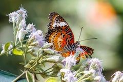 Monarchiczny motyl przy KuangSi motyla parkiem laos luang prabang Fotografia Royalty Free