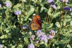 Monarchiczny motyl Robi Motylim rzeczom fotografia stock