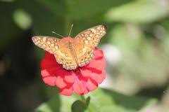 Monarchiczny motyl rozprzestrzenia skrzydła podczas gdy jedzący nektar na czerwonym kwiacie Zdjęcie Stock