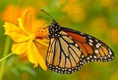 Monarchiczny motyl umieszczający na żółtym kwiacie obrazy royalty free