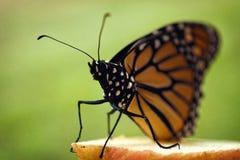 Monarchiczny motyl umieszczający na jabłku zdjęcie stock
