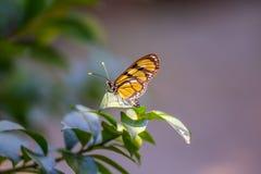 Monarchiczny motyl w lesie Obraz Royalty Free
