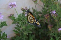 Monarchiczny motyl w pomarańcze z czarny i biały fotografia stock