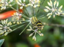 Monarchn毛虫,幼虫,鳞翅类 免版税库存图片