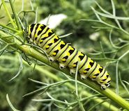 Monarchn Caterpillar, larvaire, lépidoptères images stock