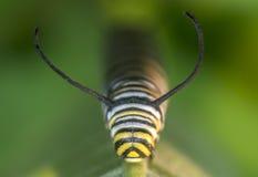 Monarchn Caterpillar, larvaire, lépidoptères photos stock