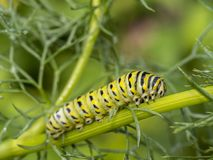 Monarchn Caterpillar, larval, Lepidoptera Fotografia de Stock