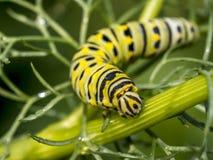 Monarchn Caterpillar, larval, Lepidoptera Foto de Stock