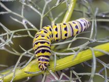 Monarchn Caterpillar, larval, Lepidoptera. Caterpillars are the larval form of members of the order Lepidoptera stock photo