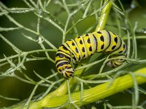 Monarchn Caterpillar, larval, Lepidoptera. Caterpillars are the larval form of members of the order Lepidoptera stock photography