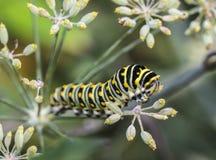Monarchn Caterpillar, larval, Lepidoptera Stock Photos