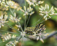 Monarchn Caterpillar, larval, Lepidoptera Stock Photo