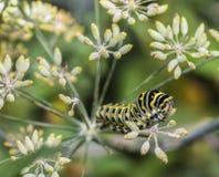 Monarchn Caterpillar, larval, Lepidoptera Stock Photo