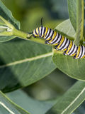 Monarchn Caterpillar, larval, Lepidoptera. Caterpillars are the larval form of members of the order Lepidoptera stock images