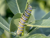 Monarchn Caterpillar, larval, Lepidoptera. Caterpillars are the larval form of members of the order Lepidoptera royalty free stock photos