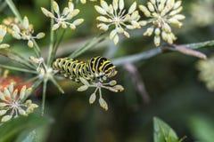 Monarchn larvaal Caterpillar, Lepidoptera Royalty-vrije Stock Afbeeldingen