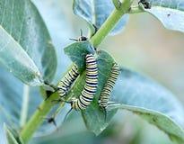 Monarchrupsbanden stock afbeelding