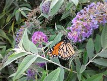 Monarchs Royalty Free Stock Photography