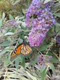 Monarchs Stock Photos