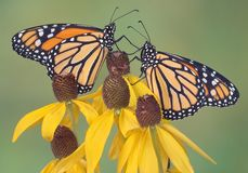 Monarchs on coneflowers. Two monarchs are perched on yellow coneflowers Royalty Free Stock Photos