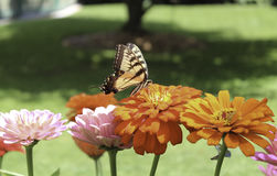 Monarchs and Zinnias Royalty Free Stock Image
