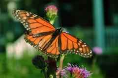 Monarchvlinder stock afbeelding