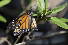 Monarchvlinder die Eieren leggen stock afbeelding