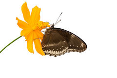 Monarchvlinder die nectar op een bloem zoeken Stock Afbeeldingen
