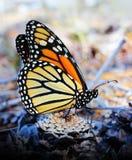 Monarchvlinder die op een Pinecone rusten Royalty-vrije Stock Afbeeldingen