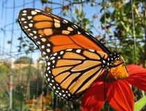 Monarchvlinder in Middaglicht Royalty-vrije Stock Fotografie