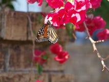 Monarchvlinder in Migratie Stock Foto's