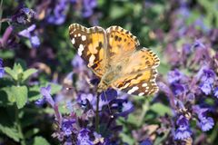 Monarchvlinder op blauwe bloemen Stock Fotografie