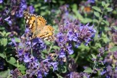 Monarchvlinder op blauwe bloemen Royalty-vrije Stock Afbeeldingen