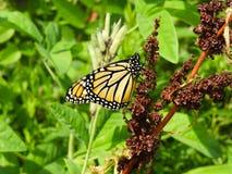 Monarchvlinder op bruine zaden van Krullende Dokinstallatie 3 stock foto