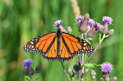 Monarchvlinder op de Purpere Distel van Canada Royalty-vrije Stock Foto