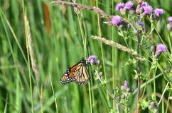 Monarchvlinder op de Purpere Distel van Canada Stock Foto's