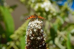 Monarchvlinder op struik klaar voor start stock afbeelding