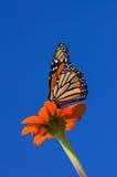Monarchvlinder op Zinnia Royalty-vrije Stock Fotografie
