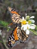 Monarchvlinders op Gemeenschappelijke begger-Tikken Stock Afbeeldingen