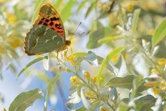 Monarchvlinders op wilg Royalty-vrije Stock Foto's