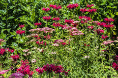Monarda and Achillea flowers in a garden`s border. Stock Photo