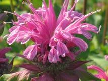 Monarda del fiore nella fioritura di estate del giardino fotografia stock