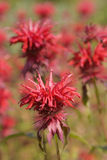 Monarda didyma Royalty Free Stock Photo