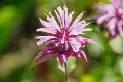 Monarda didyma Stock Photography