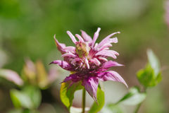 Monarda didyma Royalty Free Stock Images