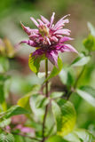 Monarda didyma Royalty Free Stock Photography
