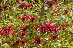 Monarda didyma  -  popular medicinal plant Royalty Free Stock Photo